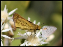 Common Hottentot Skipper (male)