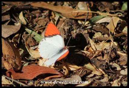 Common Orange Tip (male)