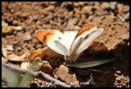 Common Orange Tip (female)