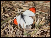 Common Orange Tip