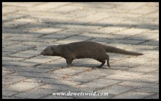 A Dwarf Mongoose searching for food in Pretoriuskop