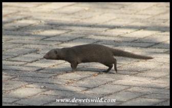A Dwarf Mongoose searching for food in Pretoriuskop