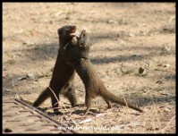 Dwarf Mongooses settling an argument in the camping area at Pretoriuskop