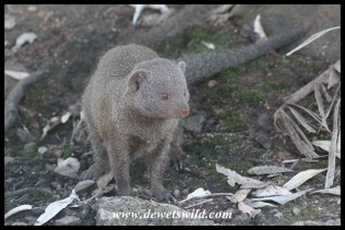 Dwarf Mongoose eyeing another one in the camping area at Pretorkiuskop