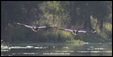 Egyptian Geese flying low over Lake Panic