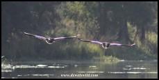 Egyptian Geese flying low over Lake Panic