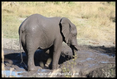 An elephant that thoroughly enjoyed his mudbath!