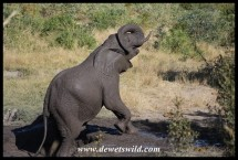 An elephant that thoroughly enjoyed his mudbath!