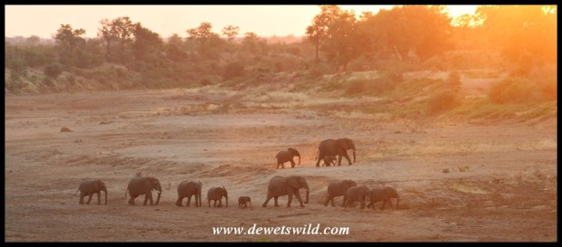 Sunset elephants in the Shingwedzi (Photo by Joubert)