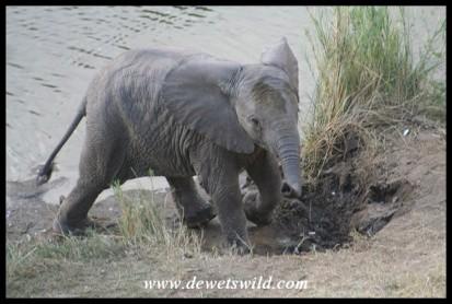 Elephant Calf (Photo by Joubert)