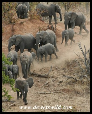 Elephant herd on the run to Red Rocks (Photo by Joubert)