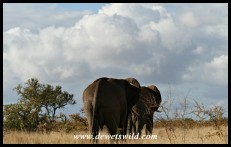 Two Elephant bulls marching into the distance (Photo by Joubert)