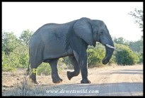 Elephant_Kruger_Jun2019_Joubert(b) (19)