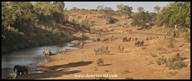 Elephants gathering in their numbers along the dwindling waterholes in the drying Mphongolo River
