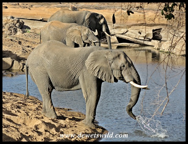Elephant bulls sharing a waterhole