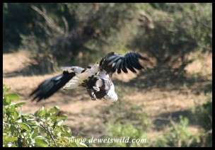 Fish Eagle taking off (Photo by Joubert)