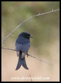 Fork-tailed Drongo (Photo by Joubert)