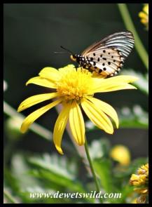 Garden Acraea