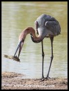 Goliath Heron with its catch
