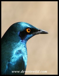 Greater Blue-eared Starling (Photo by Joubert)