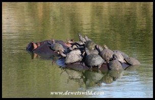 Hippo becoming a temporary island for Marsh and Serrated Hinged Terrapins