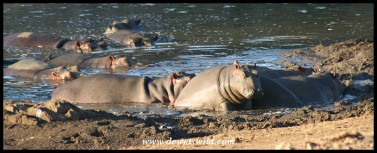 Hippo pod (Photo by Joubert)