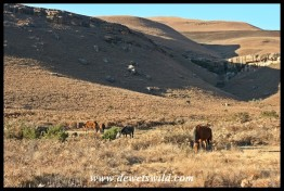 Horses and ponies are an invaluable tool to rangers in mountainous areas