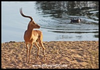 Impala ram on the bank of the Sabie
