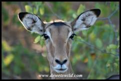Impala ewe (Photo by Joubert)