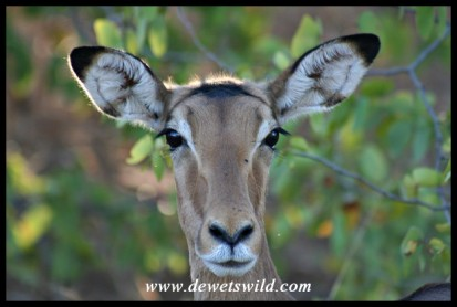 Impala ewe (Photo by Joubert)