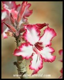 Impala Lily (Photo by Joubert)