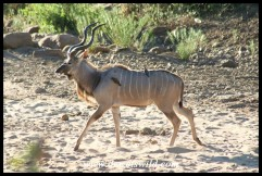 Kudu bull (Photo by Joubert)
