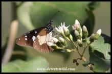 Layman butterfly