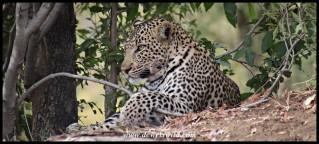 Serene leopard near Punda Maria