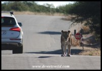 Lioness on her way to the bridge at Lower Sabie