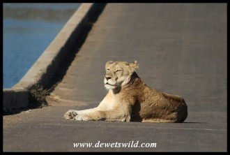 Lioness on the bridge at Lower Sabie