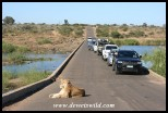 Lioness on the bridge with her adoring fans