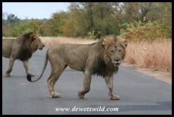 Big Lion males (Photo by Joubert)