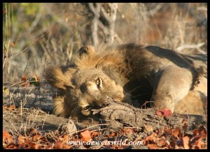 Watchful Lion (Photo by Joubert)