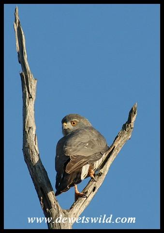 Little Sparrowhawk (Photo by Joubert)