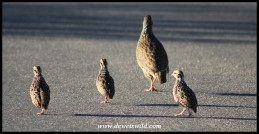 Natal Spurfowl hen with chicks