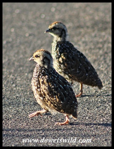 Natal Spurfowl chicks