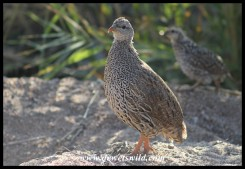 Natal Spurfowl hen