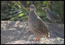Natal Spurfowl hen