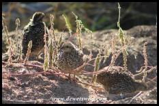 Natal Spurfowl chicks