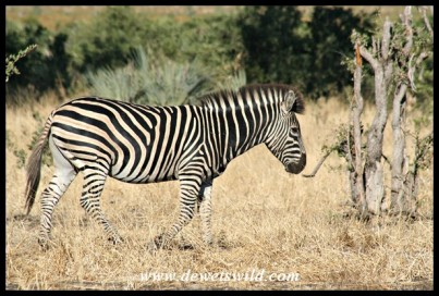 Plains Zebra (Photo by Joubert)