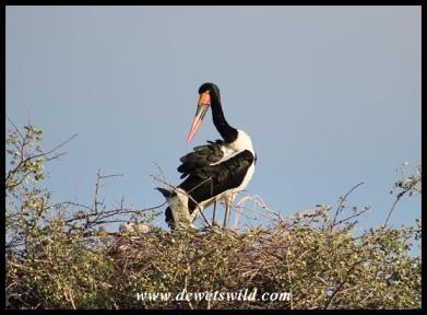 Saddle-billed Stork with nestlings