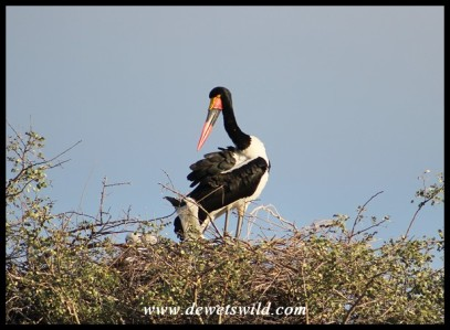Saddle-billed Stork with nestlings