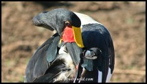 Saddle-billed Stork (Photo by Joubert)