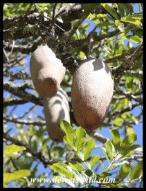 Growing Sausage-Tree fruit